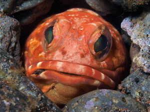 Jawfish, Seraya by Doug Anderson